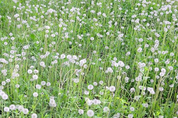 緑の野原で白いふわふわタンポポの花
