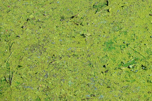 Поверхность старого болота покрыта ряской и листьями лилии