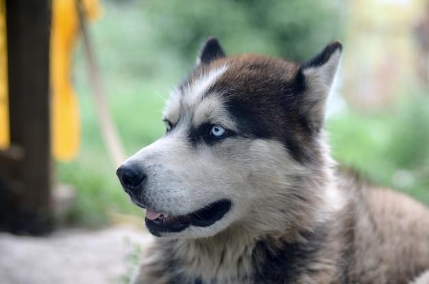 青い目を持つ北極マラミュート犬