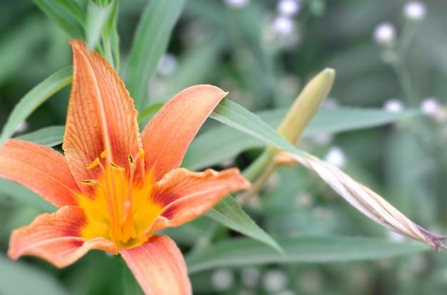 緑の茎を持つオレンジ色のユリの花は、カントリーハウスの庭で育ちます