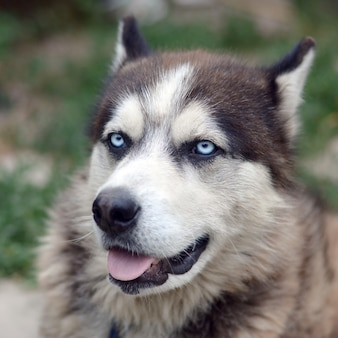青い目の銃口の肖像画を持つ北極マラミュートをクローズアップ。これはかなり大きい犬のネイティブタイプです