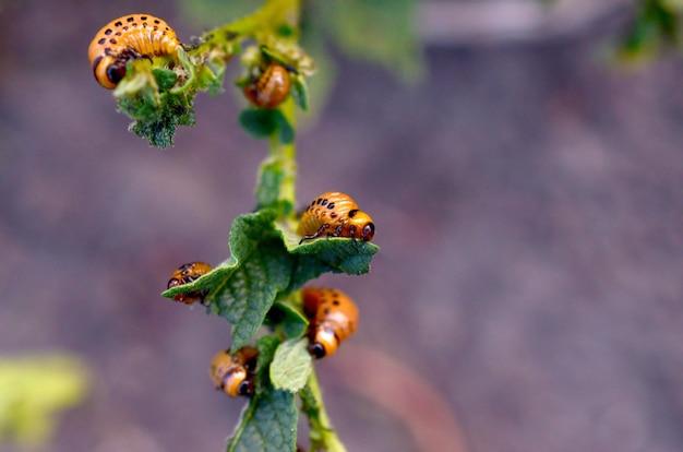 Личинки колорадского жука едят лист молодого картофеля