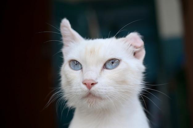 ターコイズブルーの目とピンクの欠陥のある耳を持つ純白の猫