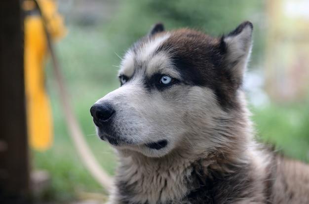 庭に座っているプロファイルの頭で誇りに思っているハンサムな若いハスキー犬