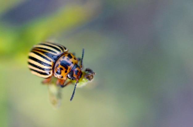 Колорадский жук летит