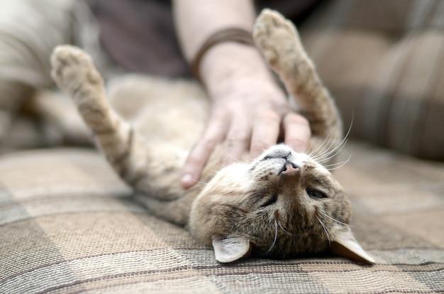 Милый большой коричневый полосатый кот лежит на мягком диване, ленивый, а рука царапает его шею