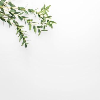 Эвкалипт ветви на белом фоне. квартира, вид сверху, копия пространства
