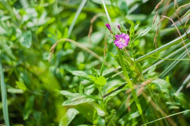 Розовые полевые цветы на фоне зеленой травы.