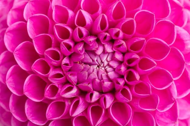 ダリアボール野蛮人の花の背景 - ピンクの明るい夏の花の上から見る