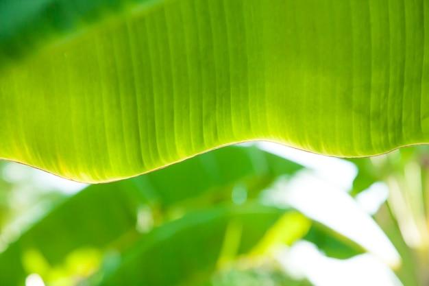 タイの夏に美しいバナナの葉をぼかします。