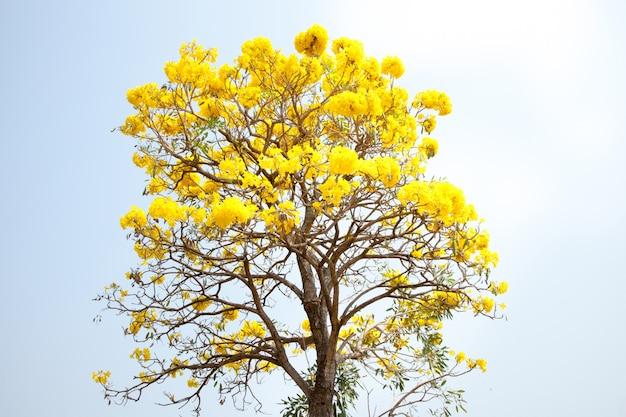パラグアイのシルバートランペットツリー