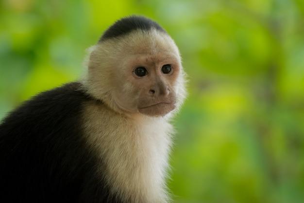 コスタリカのビーチからカプチン猿