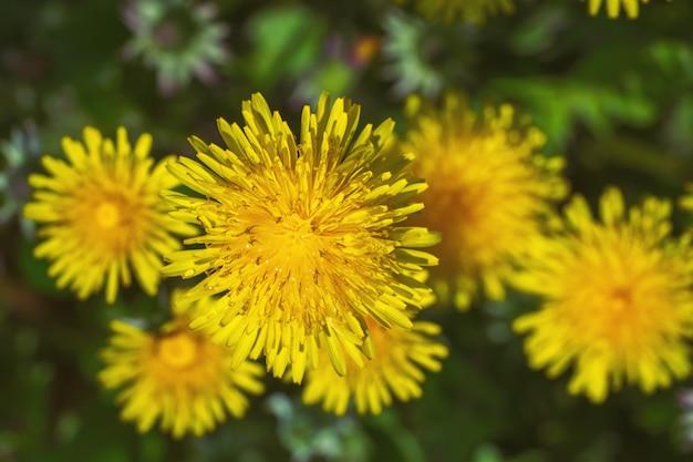Натуральные цветущие красивые одуванчики.