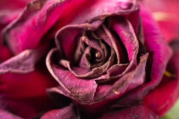 赤い枯れた古い乾燥したバラのつぼみのクローズアップ。
