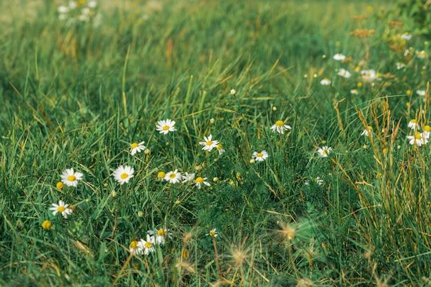 Много ромашек на заветном поле в теплый летний вечер.