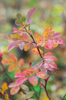秋の森のワイルドローズの明るい黄赤の葉。