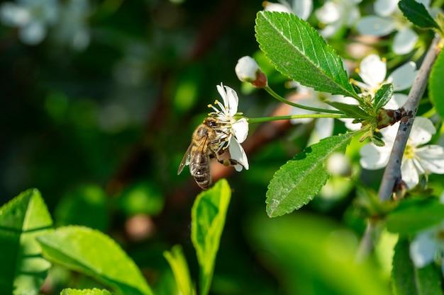 Пчела на яблоне