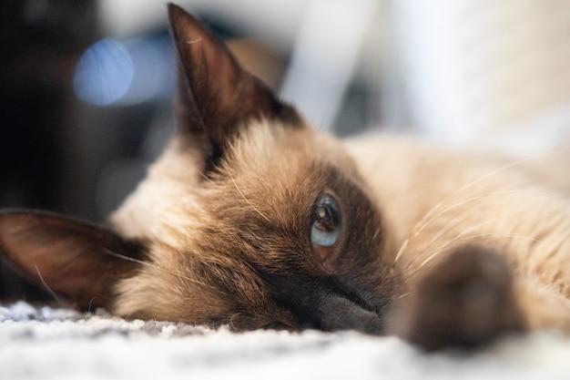 かわいいシャム猫が自宅の床に横たわって、休憩します。