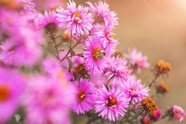 Пчела собирает нектар из сиреневых осенних цветов