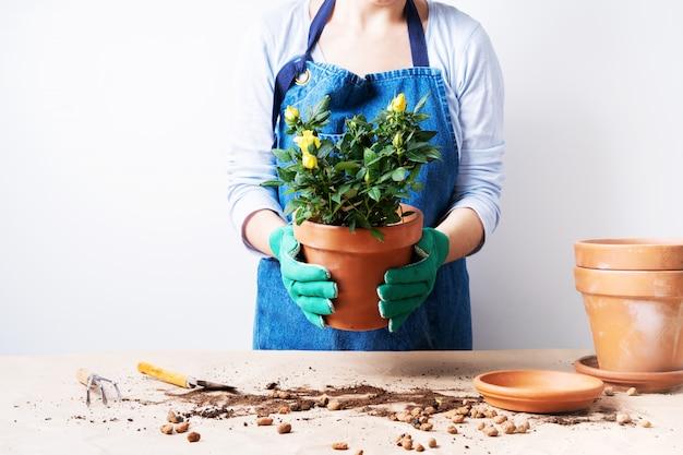 植木鉢にバラを植える若い女性の手。自家製の植物を植えます。自宅でガーデニング。