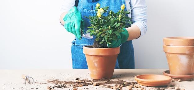 植木鉢にバラを植える若い女性の手。自家製の植物を植えます。自宅でガーデニング。コピースペースの背景を持つ長い広いバナー