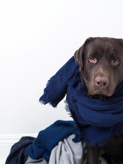 Портрет коричневого пса лабрадора в шарфе среди мягкой вязаной одежды синего цвета.