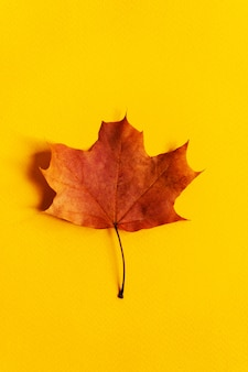 Цветной изолированный кленовый лист крупным планом