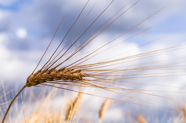 Пейзаж прекрасной золотой спелой пшеницы