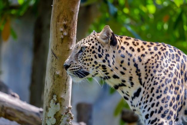 Тигровый ягуар серьезное зрение