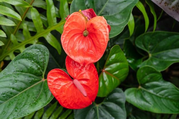 アンスリウムのハート型の花は本当に花瓶やワックス状です。