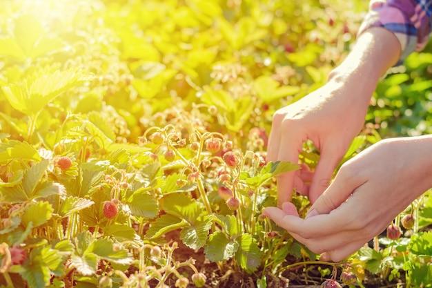 女性の手が庭師でイチゴを選ぶ