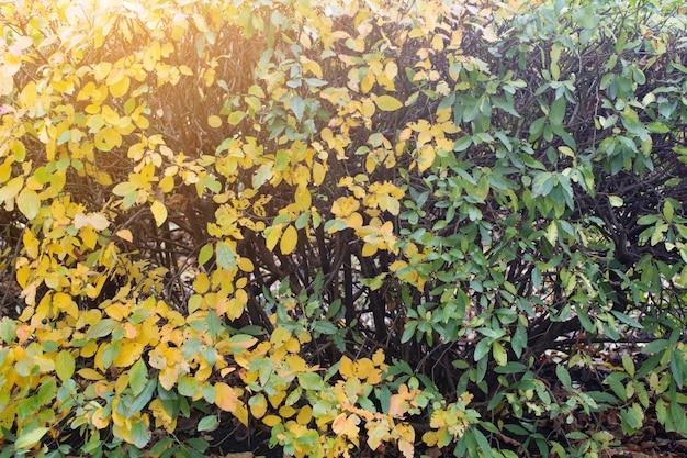 背景として秋の黄変植物。秋のブッシュ