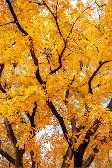 Осеннее дерево с ярко-желтыми листьями.