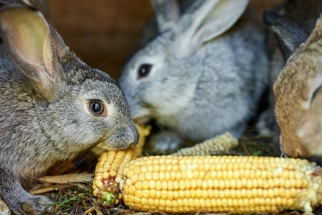 ケージでトウモロコシの耳を食べる灰色と茶色のウサギ