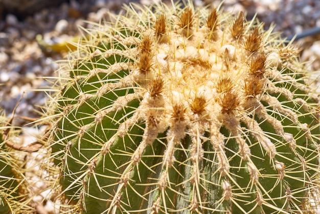 Кактус шариковый эхинокактус грусоний в саду. заделывают сочных кактусов золотая бочка