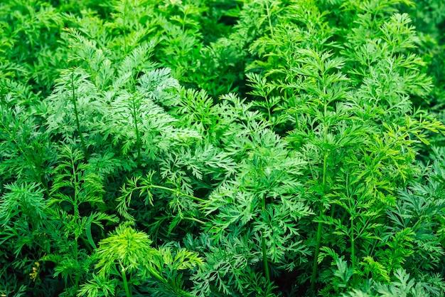 若いニンジンの背景。テクスチャとして緑のニンジンの葉