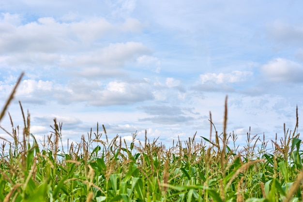 トウモロコシ畑と夏の日の曇り空