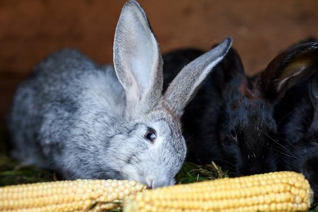Серые и черные кролики едят кукурузный початок, крупным планом
