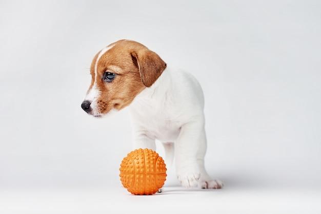 Джек рассел терьер собака с небольшой оранжевый игрушечный мяч на белом фоне
