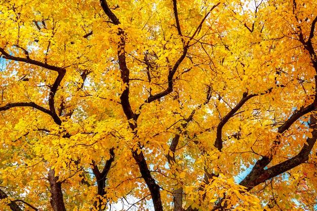 明るい黄色の葉の秋の木。