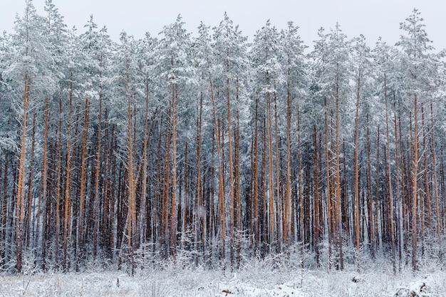 冬の松林。冬の森の風景