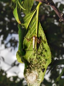 Мама и новорожденное гнездо белого рыси-паука