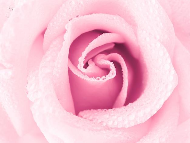 美しいピンクのバラの花
