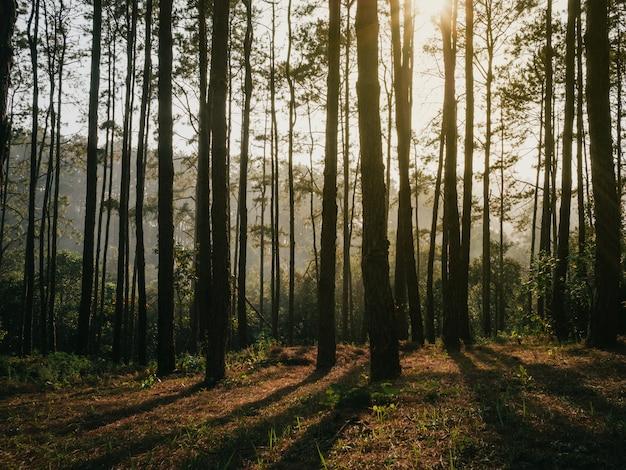 森の松の木から差し込む日光