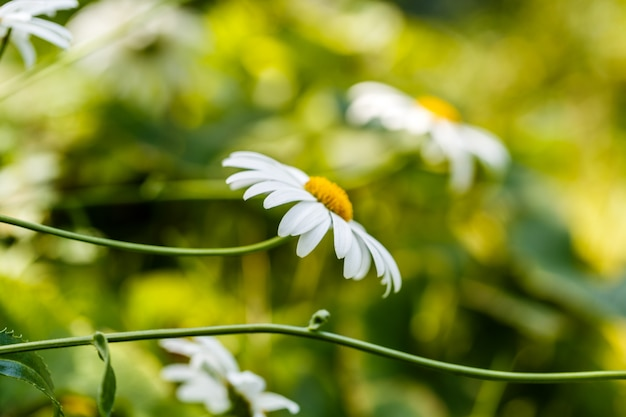 Цветы ромашки на лугу летом