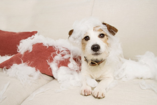 ソファに乗ったジャックラッセルの犬は、かみ傷や枕の家庭用品を破壊した後、無邪気な表情を見せます。