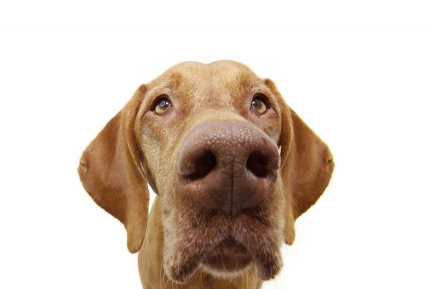 クローズアップ好奇心ポインター犬目分離された白