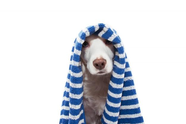 入浴、入浴、またはシャワーを浴びる準備ができている青い縞模様のタオルで包まれたポートレート美容犬。