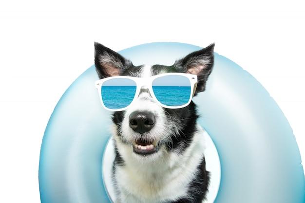 犬のボーダーコリーの夏は、青いインフレータブルフロートプールの中で休暇を過ごし、サングラスをかけています。