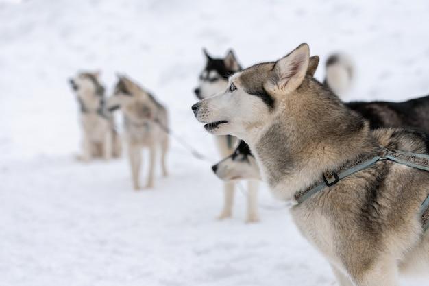 Хаски в ожидании гонки на собачьих упряжках